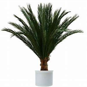 Kanarische Dattelpalme Kaufen : palmen kaufen winterharte palme trachycarpus fortunei ~ Lizthompson.info Haus und Dekorationen