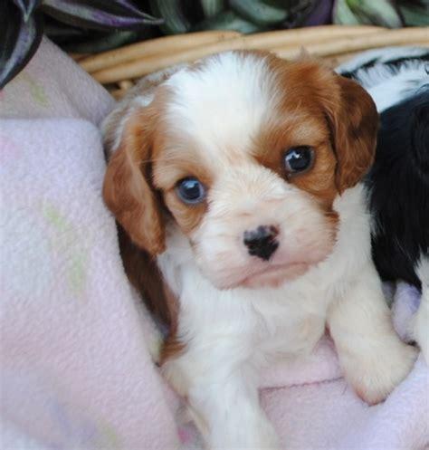 cavalier king charles spaniel puppies  sale