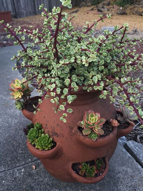 succulent containers for sale best 25 colorful succulents ideas on pinterest suculent plants succulent plants and succulents