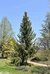 Serbian Spruce  Picea Omorika  In Inver Grove Heights