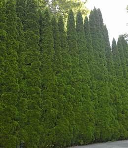 Darf Nachbar Meine Hecke Schneiden : eibenhecke pflanzen eibenhecke taxus baccata 20 25 cm 3 ~ Lizthompson.info Haus und Dekorationen