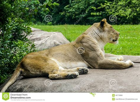 Female Lion Close Up Stock Photo. Image Of Outdoor