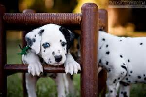 Dalmatian Puppies with Blue Eyes