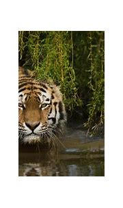 Tiger 4k Ultra HD Wallpaper   Background Image   4929x2209 ...