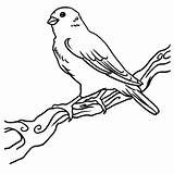 Canary Coloring Bird Happy Printable Getcolorings Female sketch template