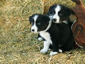 Image result for collies puppies in a barn images