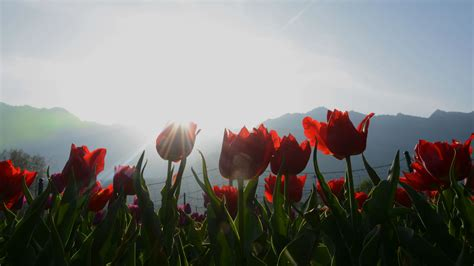 see asia s largest tulip asia s largest tulip garden has opened in srinagar and
