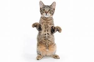 Standing Cat | www.pixshark.com - Images Galleries With A ...