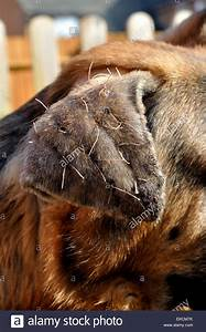 stock photo outside ear flap of german shepherd dog recovering from surgery on