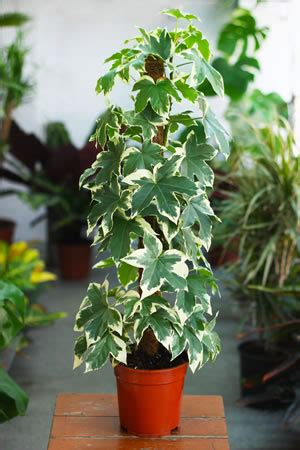 Efeu Im Kübel by Beliebte Rankpflanzen Pflege Sorten