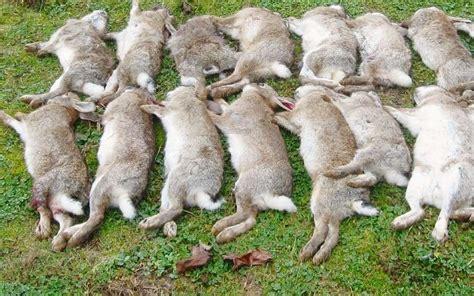 cuisiner un lapin de garenne un virus connu décime les lapins sauvages sud ouest fr