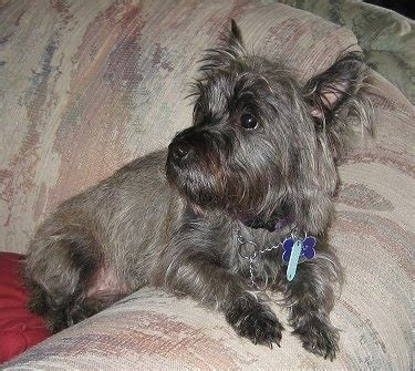 cairn terrier breed and photos and list of dogs breeds