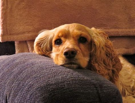 dogs breed prone  health problems dogexpress