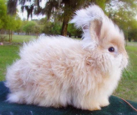 angora rabbit angora rabbit cute funny photographs funny and cute animals
