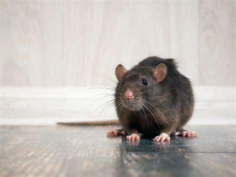 mittel gegen ratten tipps und mittel gegen ratten was wirklich hilft rentokil
