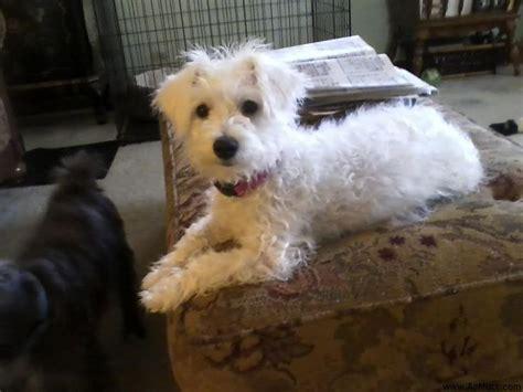 Tan Poodle Schnauzer Mix Adopt A Scruffy Dog Pinterest Poodles Miniature And Schnauzers