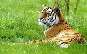 Tiger HD Wallpaper ~ LatestWallpaper99