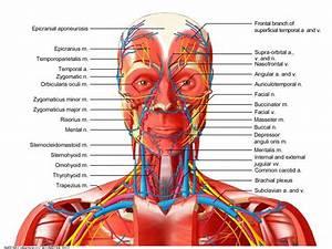 Lymphatic Vessel Diagram