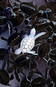 An albino baby turtle swims with green sea turtle babies ...