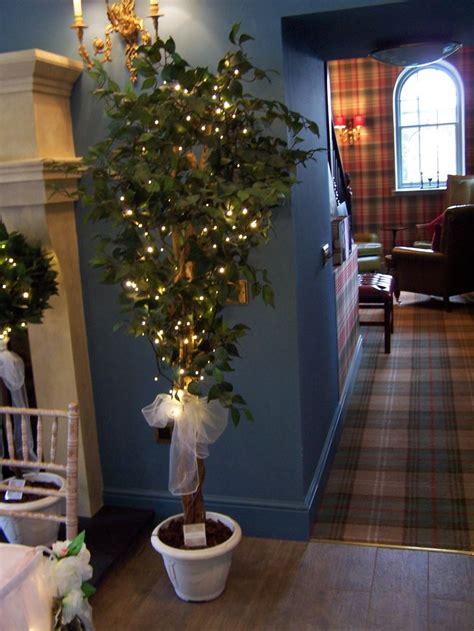 ficus trees  metres tall  wedding sashes  pots