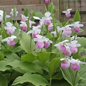 Winterharte Blumen Für Den Garten : winterharte orchidee k nigsfrauenschuh von garten schl ter auf kaufen ~ Whattoseeinmadrid.com Haus und Dekorationen