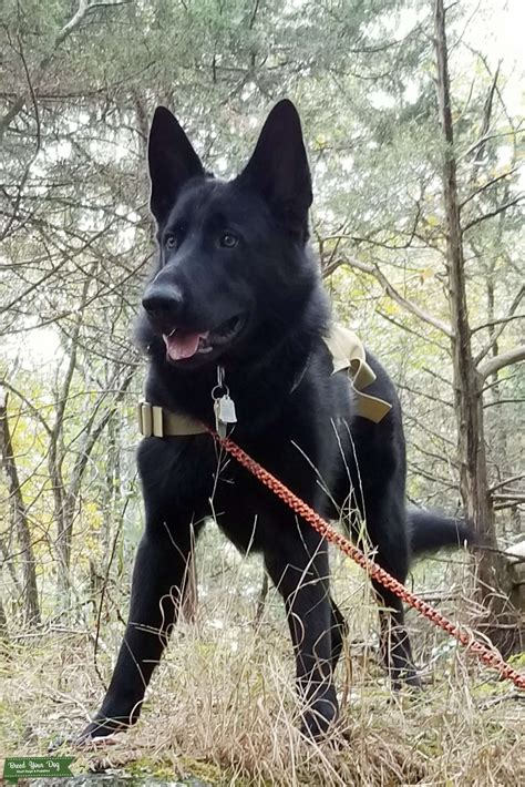 Stud Dog - Black German Shepherd Stud - Breed Your Dog