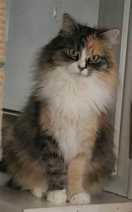Katze Im Haus Halten : fotoalben sibirische katze neva masquarade im gelben haus ~ Lizthompson.info Haus und Dekorationen