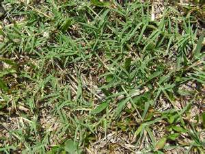 Carpet Grass Weed Control for Lawns