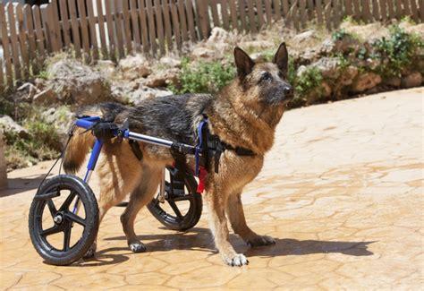 un chariot pour handicap 233 s c est comme sur des roulettes