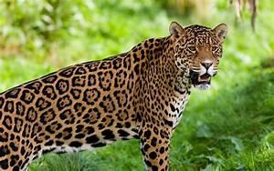 Jaguar-Guyana National Animal