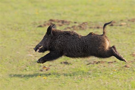 Saskatchewan Wild Boar Website Aims To Track Pesky Piggies
