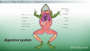 Large Intestine Function Frog