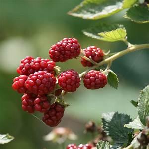 Erdbeeren Pflegen Schneiden : himbeeren pflanzen anbau und pflege himbeere ~ Lizthompson.info Haus und Dekorationen