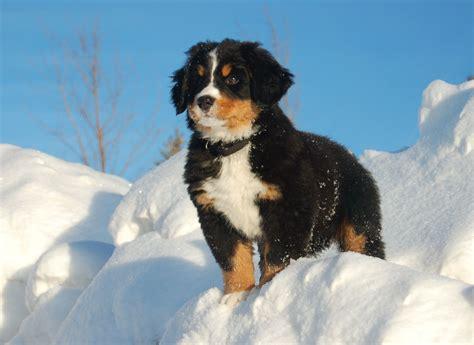 gorgeous bernesemountain puppy  snowy mountain