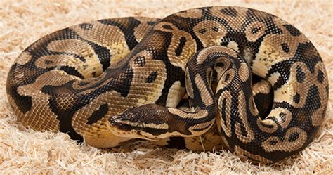 Snake Breeds Top 10 Best Breeds For Beginner Snake Owners Utoptens