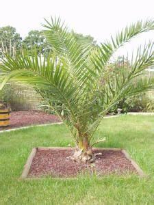 Phoenix Canariensis Entretien : quand planter palmier pleine terre ~ Melissatoandfro.com Idées de Décoration