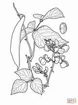 Coloring Bean Pages Sprout Runner Beans Drawing Printable Pe Clipart Feijao Desenho Ruff Draw Sketch Dave Tweet Um Template Getdrawings sketch template
