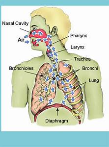 Free Respiration Cliparts  Download Free Clip Art  Free