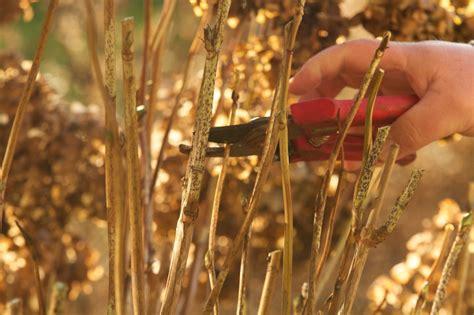 hortensien schneiden wann ist der richtige zeitpunkt