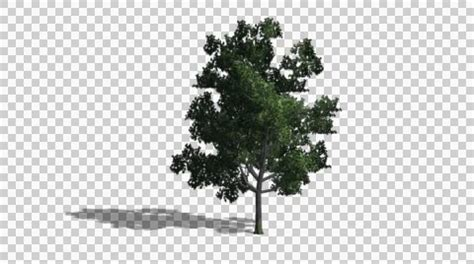 Tree Images No Background by Tree Transparent Background 101 Clip
