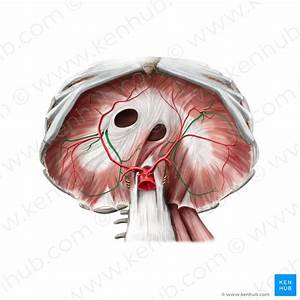 Diaphragm Muscle  Anatomy  Innervation And Function