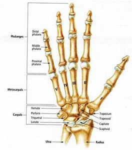 Concerning The Anatomy Of The Radius And Ulna