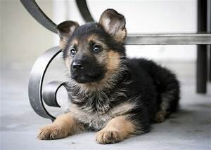 7 facts about the german shepherd animalso With where to buy german shepherd dog