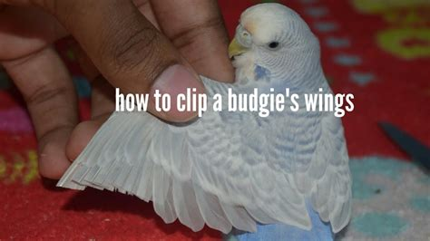 How To by How To Clip A Parakeet Budgie S Wings