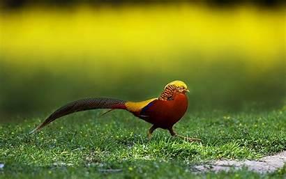 Pheasant Golden Birds Wallpapers Bird Resolution Desktop
