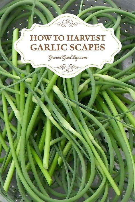 how to harvest garlic scapes gardens garden gnomes and
