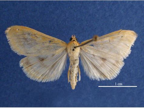 http://commons.wikimedia.org/wiki/File:Ostrinia_nubilalis_female_dorsal.jpg