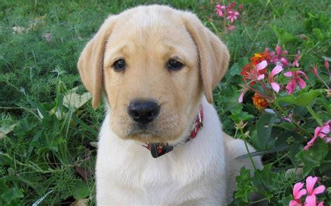 labrador retrieve cute  wallpaperslabrador