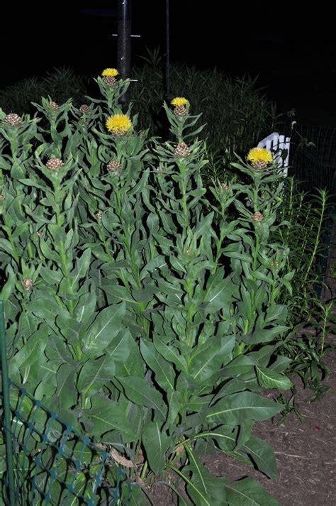 centaurea-macrocephala-plant