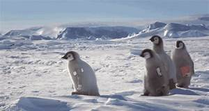 Penguins Walking GIFs - Find & Share on GIPHY